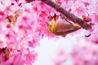 神奈川県 西平畑公園 河津桜とメジロ