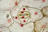 ムラサキツユクサ 葉の裏 気孔 酢酸カーミン染色 倍率300
