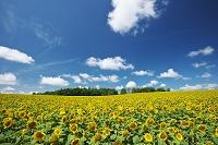 北海道 ヒマワリと雲