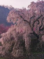 奈良県 又兵衛桜