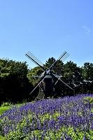 愛知県 名古屋市 名城公園 サルビアと風車
