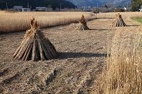 滋賀県 西の湖 葦刈り
