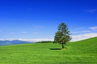 北海道 富良野 麓郷 草原の一本の木