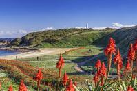 静岡県 爪木崎の野水仙とアロエの花
