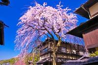 京都府 三年坂のしだれ桜