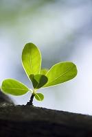 植物 オオリキュウバイの新芽