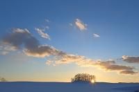 北海道 夕日のカラマツの丘