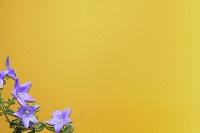 桔梗の花と金屏風
