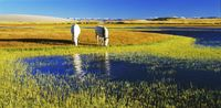 チベット 湖畔の馬