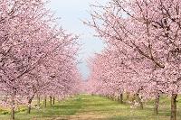 埼玉県 北浅羽の安行寒桜