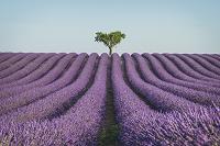 フランス ラベンダー畑