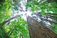 秋田県 秋田杉の巨木