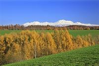 北海道 北海道大雪山と小麦畑と紅葉のカラマツ
