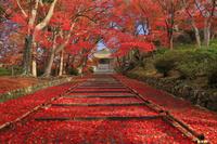 京都府 毘沙門堂 参道の敷き紅葉と勅使門