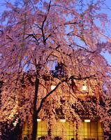 京都府 祇園の夜桜