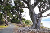 静岡県 大瀬崎のビャクシン樹林