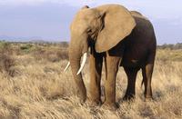 ケニア サンブル国立保護区 アフリカゾウ