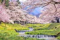 日本 福島県 観音寺川のサクラ