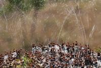 蟻酸を飛ばす赤蟻の群れ