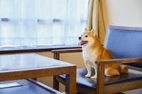 旅館の椅子に座る豆柴犬