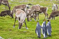 オウサマペンギンとトナカイ