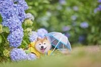 梅雨 柴犬と紫陽花