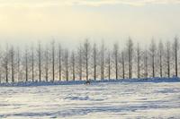 北海道 西日に映える並木