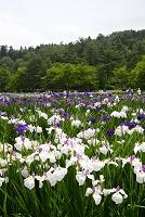新潟県 五十公野公園あやめ園のアヤメ