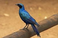 南アフリカ共和国 クルーガー国立公園 ムクドリ