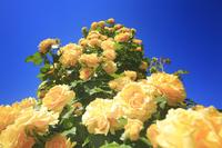長野県 中野市 一本木公園のバラのタワー