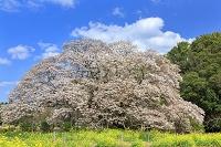 千葉県 吉高の大桜