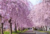 福島県 喜多方市 日中線記念自転車歩行者道 しだれ桜