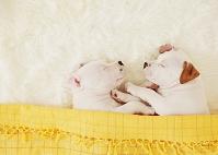 スタッフォードシャーブルテリア 犬