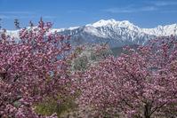 長野県 桜と北アルプス