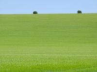 新緑の麦畑