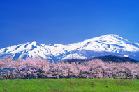 山形県 桜並木と鳥海山