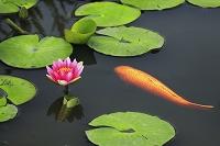 京都府 勧修寺 氷室池に咲く睡蓮と鯉