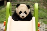 滑り台で遊ぶ子パンダ 中国パンダ保護研究センター