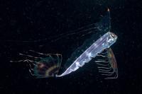 テンガイハタ 幼魚