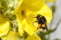 マルハナバチ 蜂