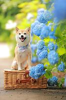 柴犬 相模原北公園 紫陽花