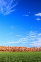 北海道 防風林