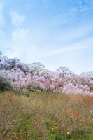 福島県 福島市 花見山