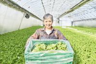 サンチュを収穫するシニアの日本人女性