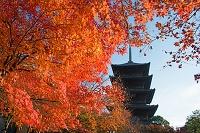 京都府 東寺 紅葉と五重塔
