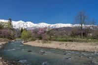 長野県 大出公園の桜と北アルプス