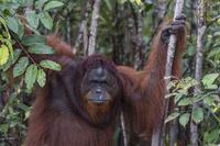インドネシア ボルネオオランウータン