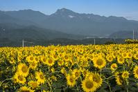 山梨県 ヒマワリ畑と甲斐駒ケ岳