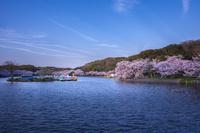 兵庫県 明石公園 桜 夕景