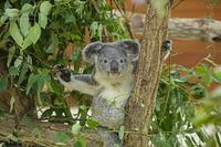こども動物自然公園 コアラ